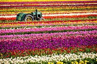 Wooden Shoe Tulip Festival, Woodburn, Oregon 2014